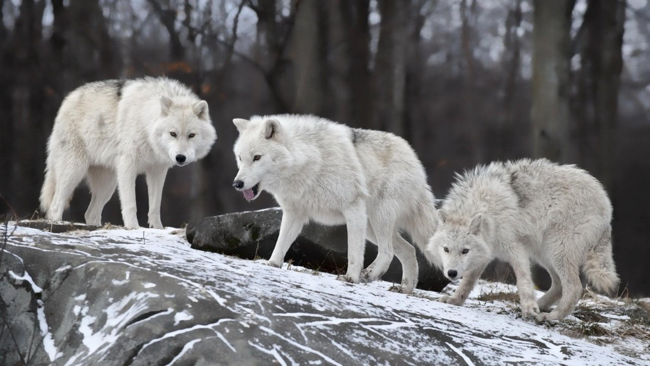 Wolf pack wallpaper hd